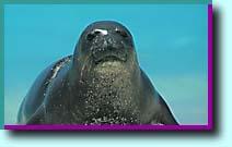 ハワイ・ワイキキ水族館・ハワイアンモンクシール